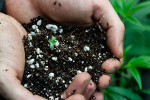 Hands holding soil with cannabis sprout.
